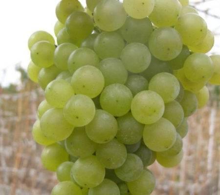 Виноград магарач - описание особенностей сорта
