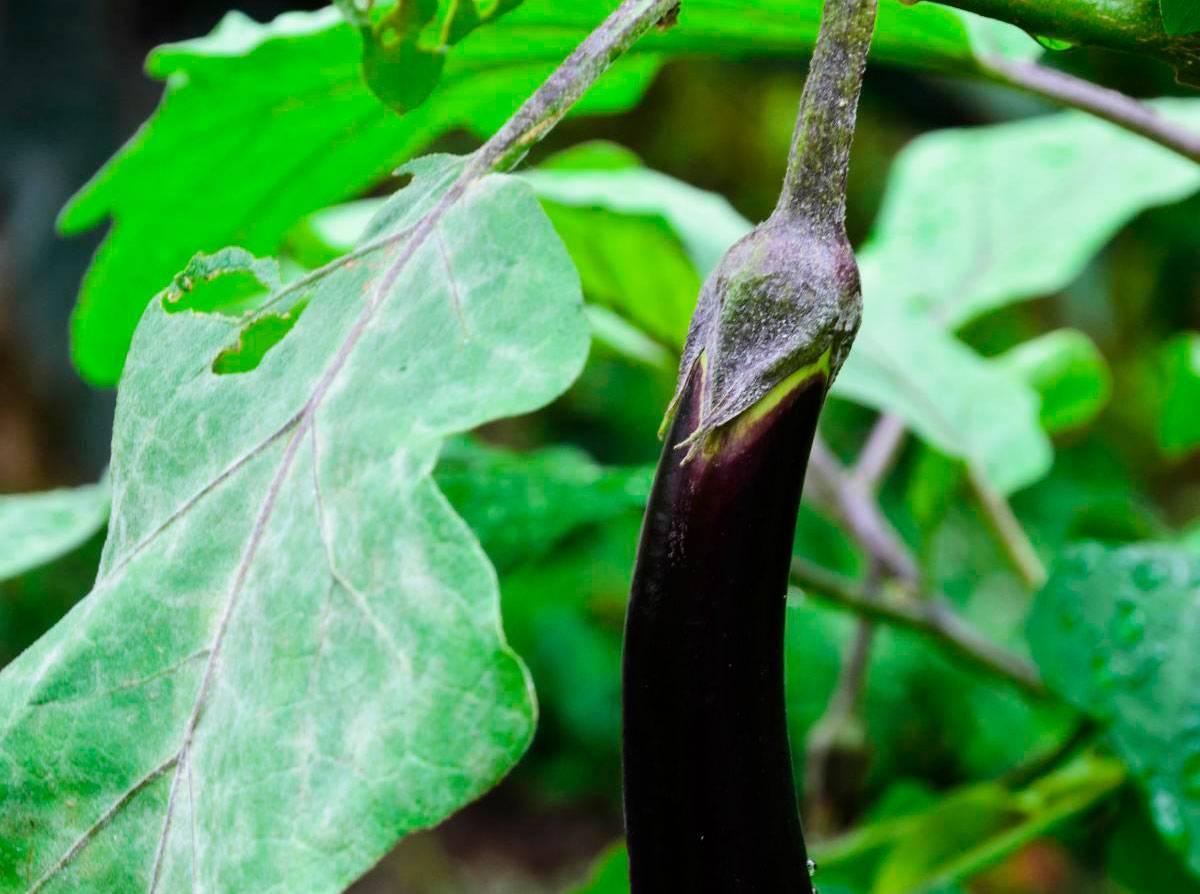 Какие болезни поражают листья рассады баклажанов? описание, фото, советы по лечению