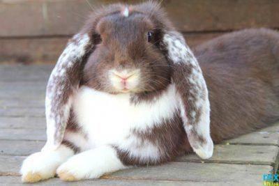 Кролик баран: описание породы и фото