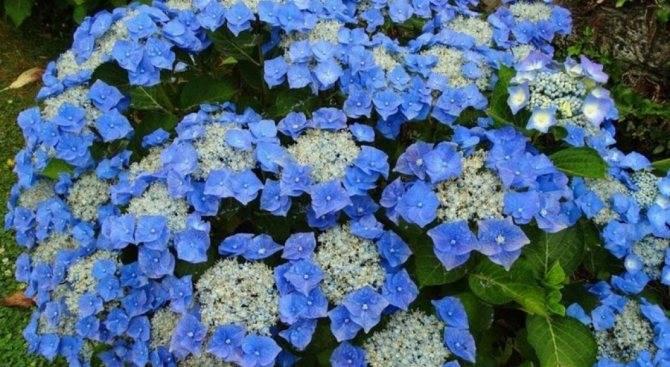 Гидрангея: выращивание гротензии макрофилла (macrophylla)