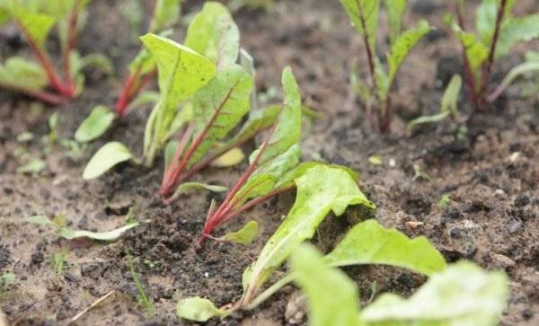 Посадка свеклы рассадой: на севере в открытый грунт