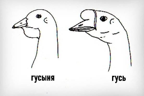 Как отличить гуся от гусыни: способы определения пола.