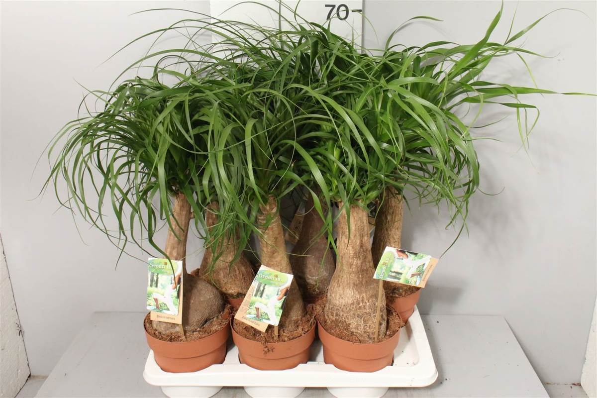 Бокарнея - 140 фото растения и описание особенностей выращивания в домашних условиях