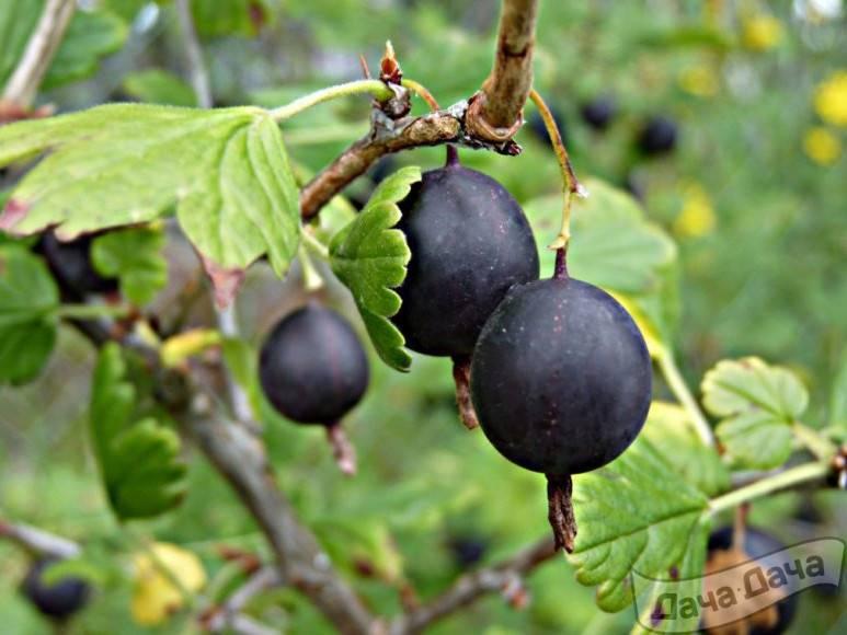 Крыжовник чёрный негус: фото, описание, отзывы