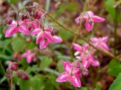 Горянка: топ правила посадки и ухода, лучшие виды цветов с фото