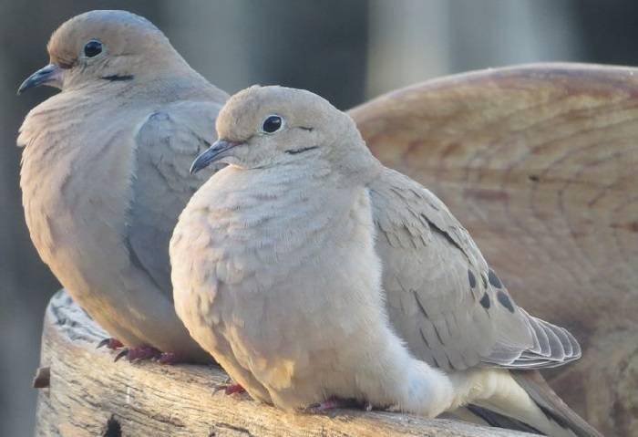 По каким признакам можно отличить голубя от голубки