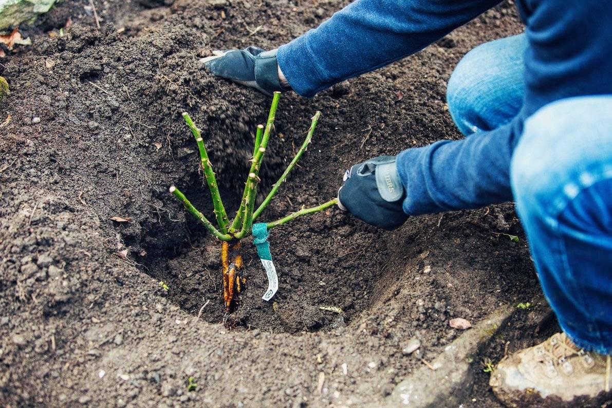 Посадка роз осенью в открытый грунт – какие сорта лучше сажать в это время, правила проведения процедуры