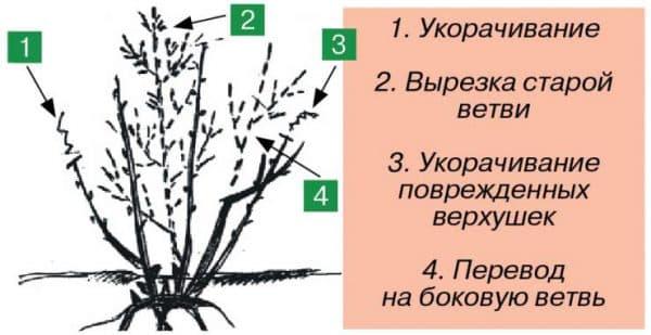 Обрезка смородины осенью для начинающих: видео, схема, инструкция