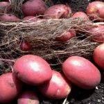 Описание сорта картофеля лабелла
