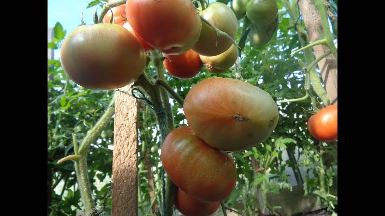 Почему не завязываются помидоры в теплице и как это исправить