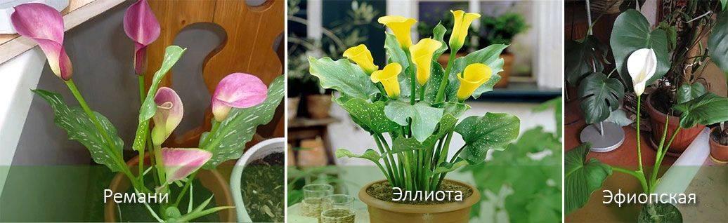 Почему каллы не цветут — причины, решение проблемы