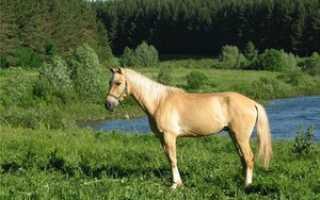Каурая масть лошади: фото, описании и характеристика