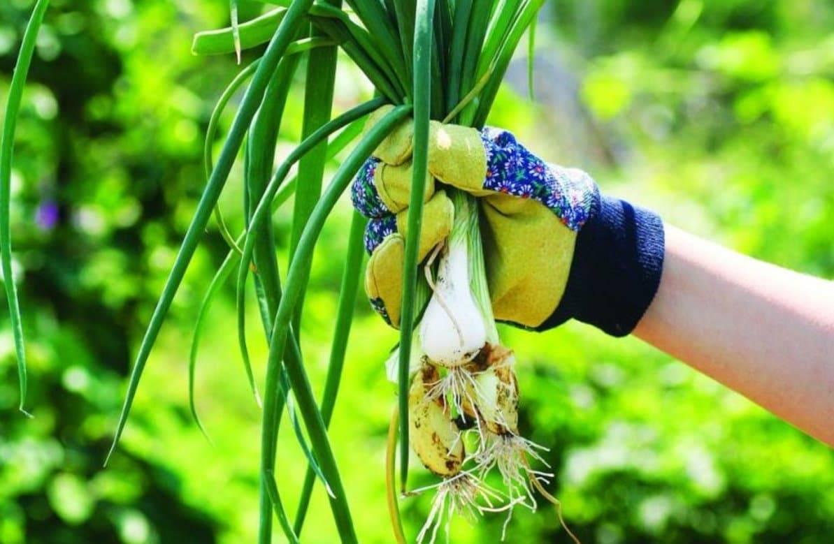 Свежая зелень для ленивых огородников! сорта многолетнего лука и особенности выращивания