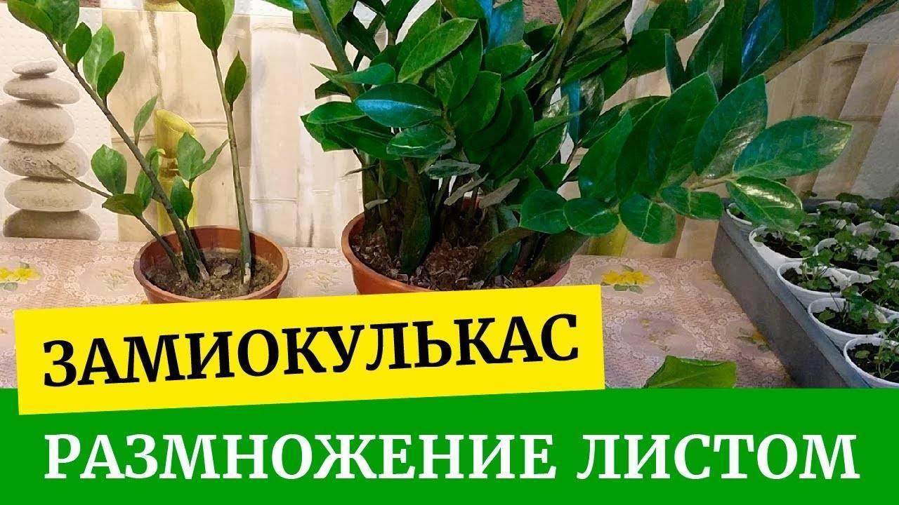 Замиокулькас: размножение в домашних условиях - sadovnikam.ru