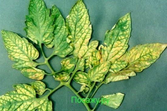 Почему в теплице у помидоров желтеют листья: инфекционные и неинфекционные заболевания, другие причины