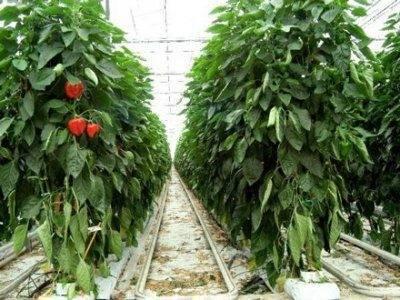 Выбираем сорта перца для северо-запада на 2021 год для всех способов выращивания