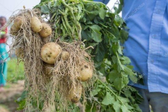 Чем и как удобрять картофель весной, при посадке в лунку, летом и осенью, правила подготовки картофельной грядки