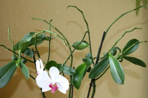 Появилась детка на цветоносе орхидеи — что делать?