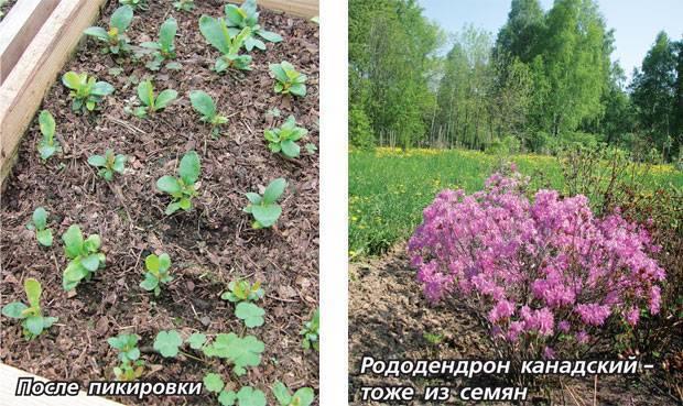 Размножение азалии: как размножить цветок черенками и другими способами в домашних условиях? последующий уход