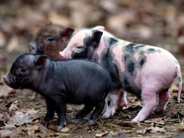 К чему снятся свиньи и поросята: живые и мертвые, белые и черные, чистые и грязные