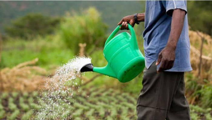 Нужно ли поливать озимый чеснок. полив лука в открытом грунте