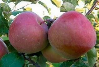 Мечта — летний сорт яблони