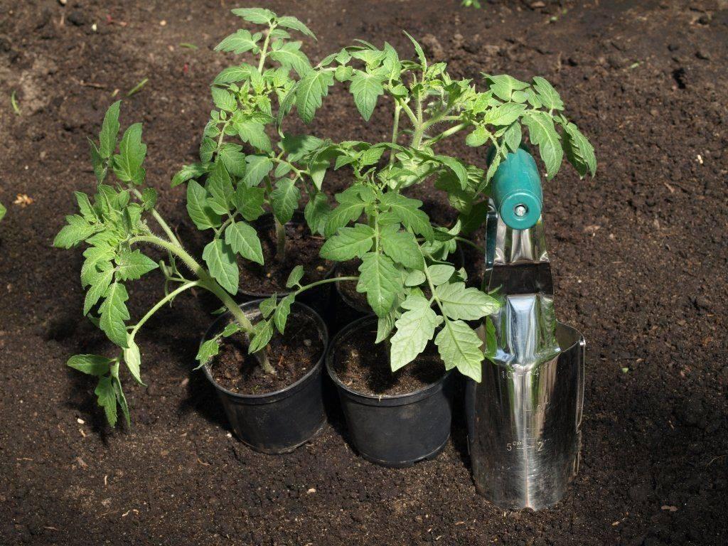 Стимуляторы роста для семян томатов: плюсы и минусы таких препаратов, а также в чем замачивать материал перед проращиванием и как опрыскивать рассаду помидоров? русский фермер