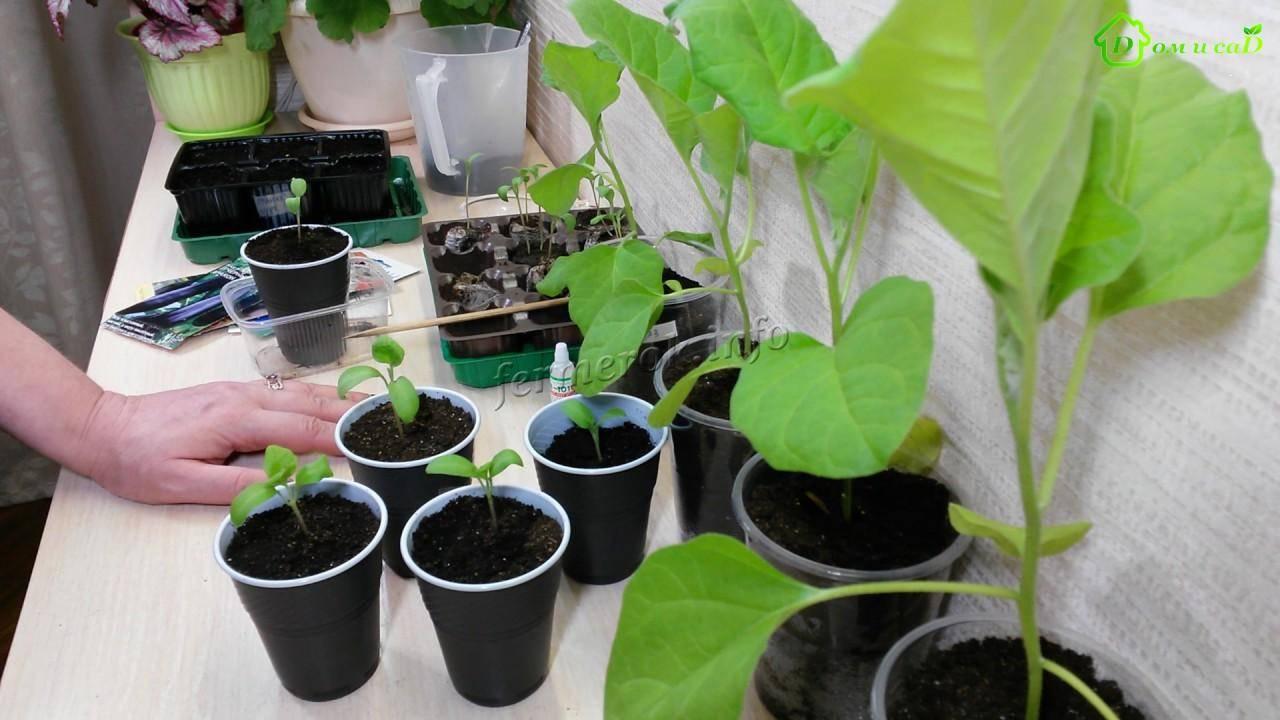 Подкормка рассады перца и баклажан - сад и огород