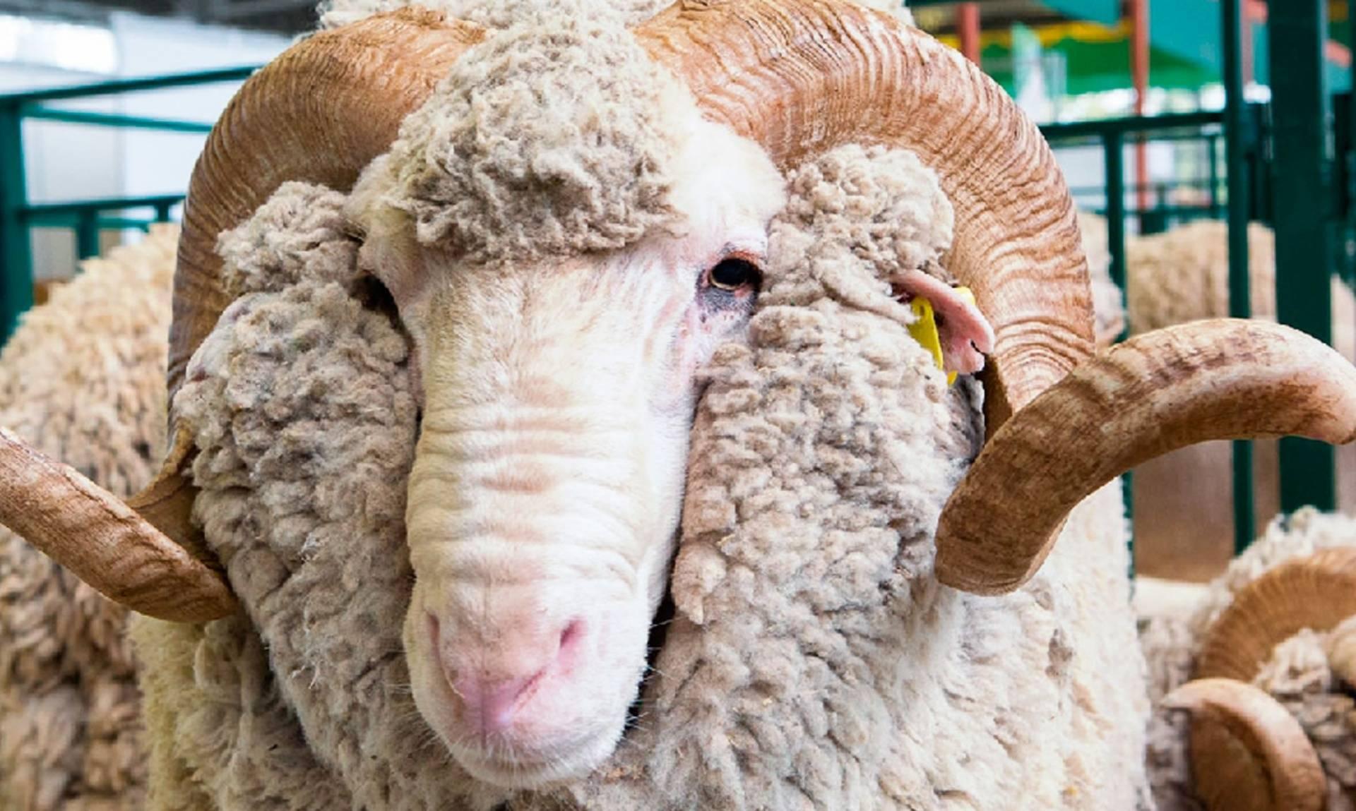 Самка барана: как называется и есть ли у нее рога