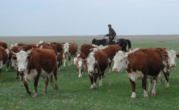 Казахская белоголовая порода коров — характеристики и особенности