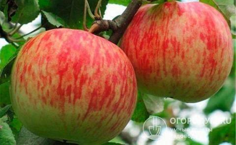 Описание яблони сорта Бельфлер-китайка