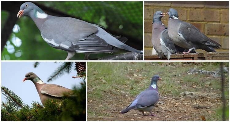 Болезнь ньюкасла у голубей (парамиксовирус): лечение, профилактика