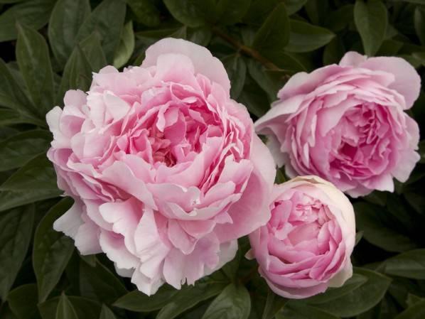 Осенняя подкормка пионов — залог обильного цветения весной