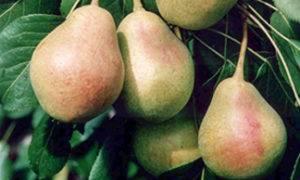 Сорт груши богатая — полна вкуснейших плодов