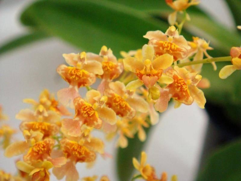 Онцидиум - виды и уход за орхидеей в домашних условиях