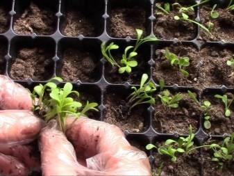 Гацания - выращивание из семян в домашних условиях, как и когда сеять (фото)