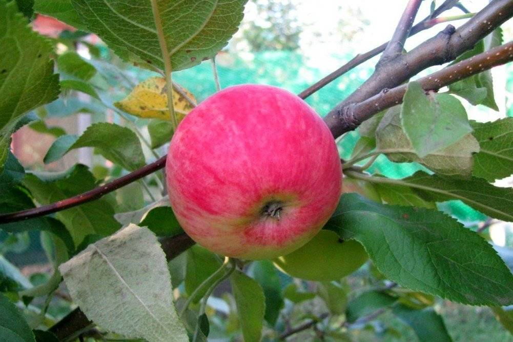 Сорта карликовых яблонь, рекомендуемые для регионов России