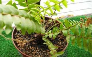 Декоративный папоротник: выращивание в комнатных условиях