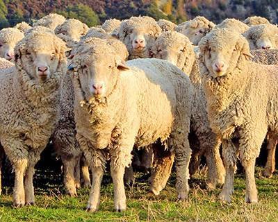 Лучшие породы овец мясной, молочной, шерстной направленности