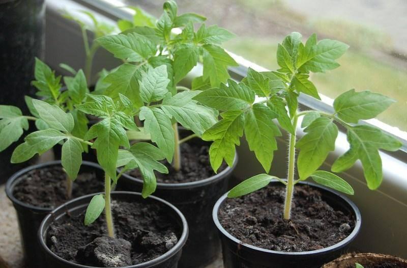 Плохо растет рассада помидоров - что делать, чем подкормить, причины плохого развития томатов дома