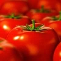 Сорта томатов, устойчивых к фитофторозу: описание, фото, отзывы