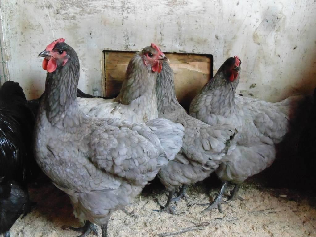 Джерсийский гигант: порода кур, описание, фото