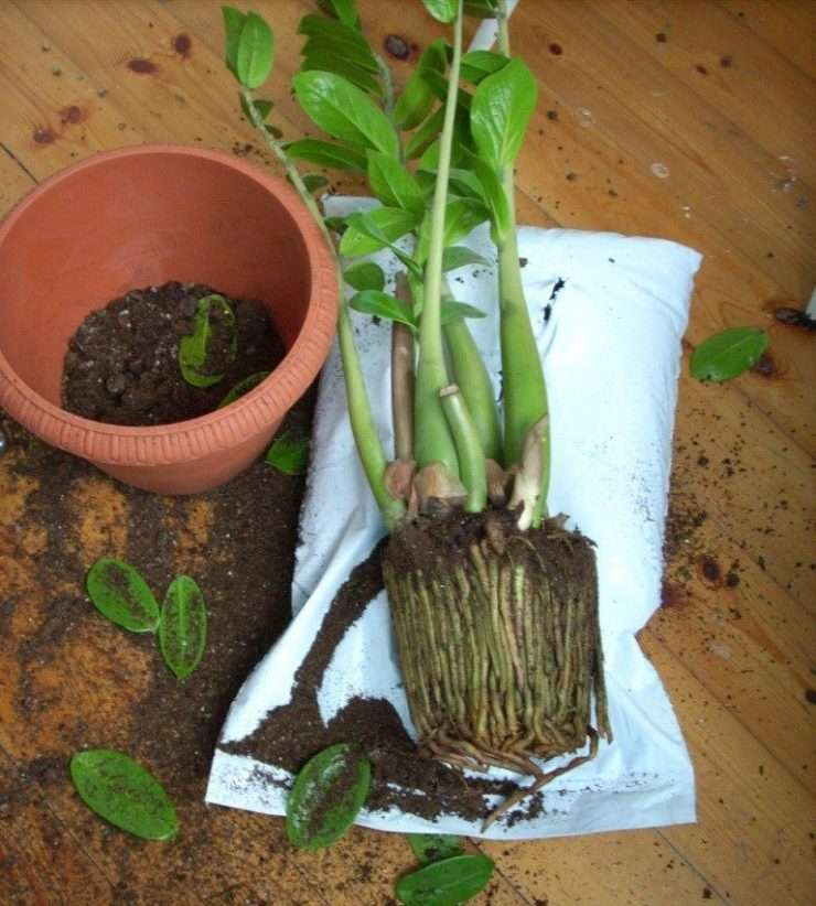 Размножение замиокулькаса (30 фото): как размножить «долларовое дерево» листом и черенками в домашних условиях? как его рассадить? как правильно вырастить?