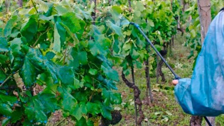 Обработка винограда осенью: чем опрыскивать от болезней и вредителей перед укрытием на зиму