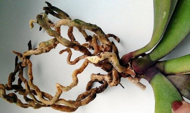 Можно ли пересаживать орхидею?