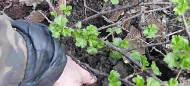 Проверенные способы размножения крыжовника