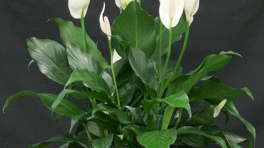 Как поливать цветок «женское счастье»? полив спатифиллума зимой. как часто нужно поливать? опрыскивание янтарной кислотой