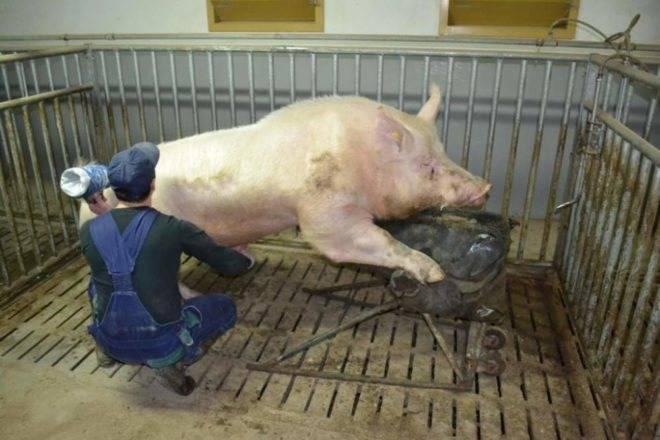 Искусственное осеменение свиней в домашних условиях
