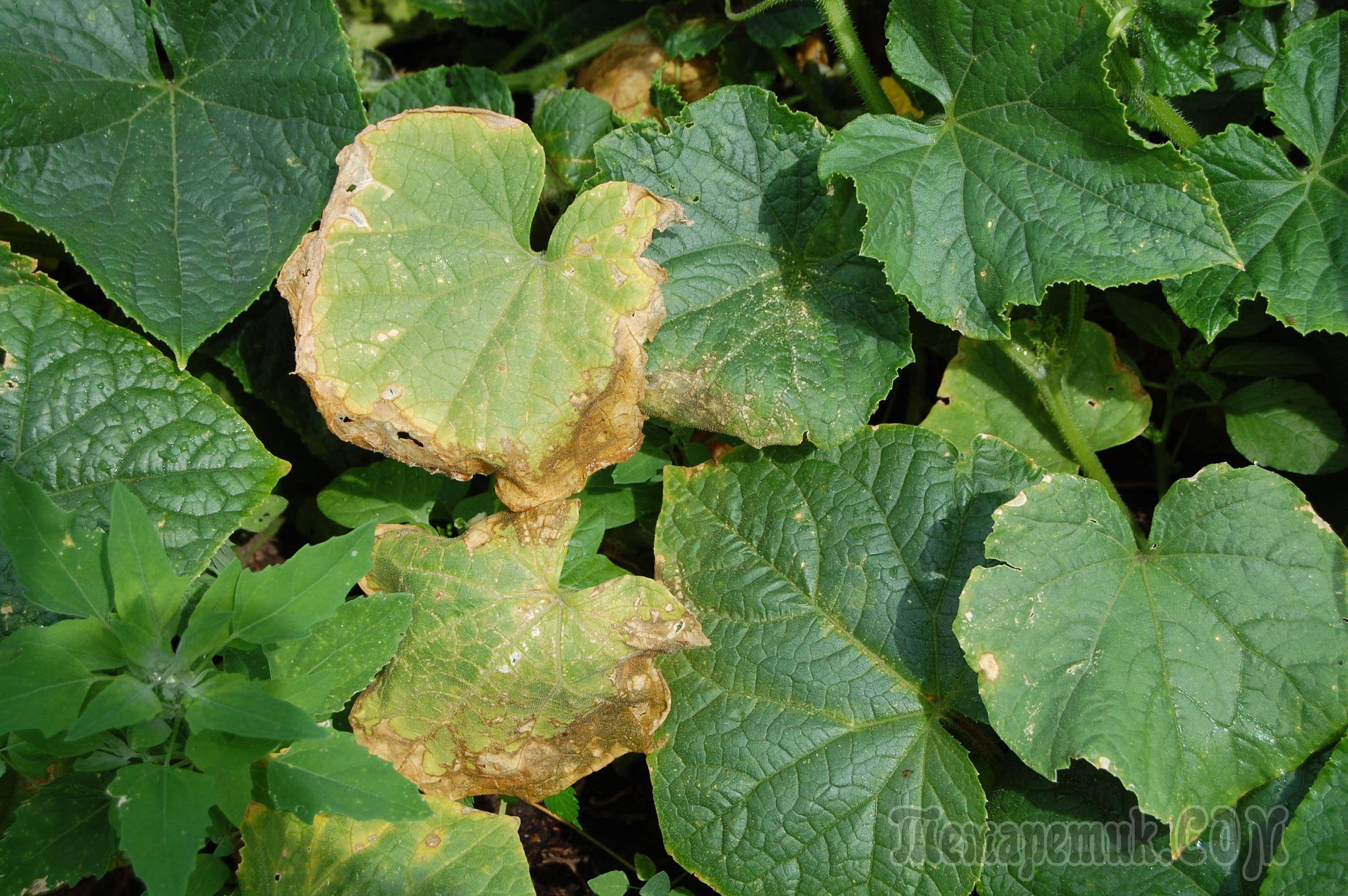 Желтеют листья огурцов - что делать, народные рецепты против пожелтения