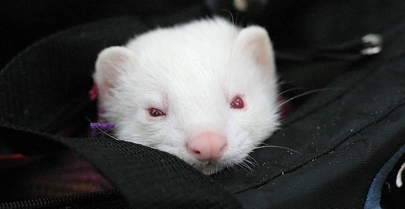 Кошка-альбинос: генетическая обусловленность и особенности животных с альбинизмом
